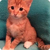 Domestic Shorthair Kitten for adoption in Grove City, Ohio - Lenny