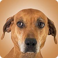 Vizsla Mix Dog for adoption in Prescott, Arizona - Mabel