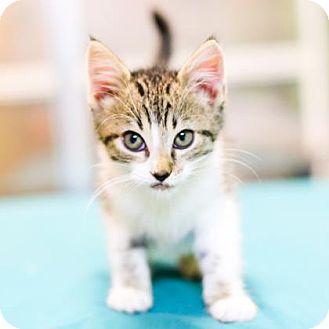 Domestic Shorthair Kitten for adoption in Austin, Texas - Applejack