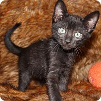Bombay Cat for adoption in Palo Alto, California - Thanksgiving: Black Friday