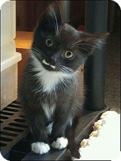 Domestic Mediumhair Kitten for adoption in Oakland Gardens, New York - Stash