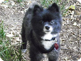 Pomeranian Dog for adoption in Hesperus, Colorado - STERLING