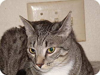 Domestic Shorthair Cat for adoption in Scottsdale, Arizona - Bobby-declawed & chipped