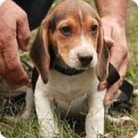 Adopt A Pet :: Spot - Brattleboro, VT