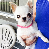 Adopt A Pet :: Spirit - St. Petersburg, FL