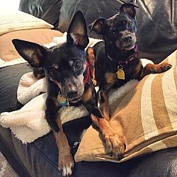 Photo 3 - Miniature Pinscher Dog for adoption in Nashville, Tennessee - Lexus