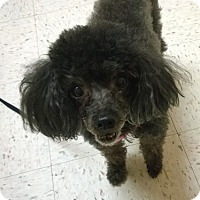Adopt A Pet :: Roxie 2 with Sissy - Cary, NC