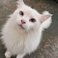 Domestic Longhair Cat for adoption in Columbia, South Carolina - Stormy