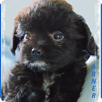 Adopt A Pet :: Abner- Adoption pending - Marlborough, MA
