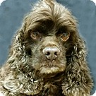 Adopt A Pet :: Choco