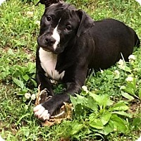 Adopt A Pet :: Rain - APPLICATION PENDING - Tyrone, PA