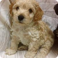 Adopt A Pet :: Wilde (ARSG) - Santa Ana, CA