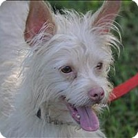 Terrier (Unknown Type, Small) Mix Dog for adoption in Osage Beach, Missouri - Rizzo