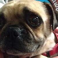 Pug Dog for adoption in Gardena, California - Bert