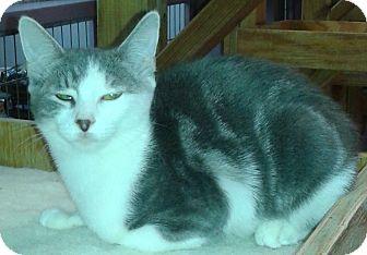 Domestic Shorthair Kitten for adoption in Whittier, California - Starla