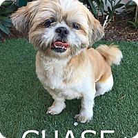 Adopt A Pet :: Chase - Rancho Palos Verdes, CA