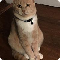 Domestic Mediumhair Kitten for adoption in Maybrook, New York - APOLLO