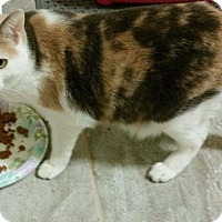 Calico Cat for adoption in Mansfield, Texas - River