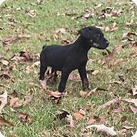 Labrador Retriever/Shepherd (Unknown Type) Mix Puppy for adoption in Seattle, Washington - Georgie