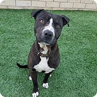 Adopt A Pet :: Apache - Santa Clarita, CA
