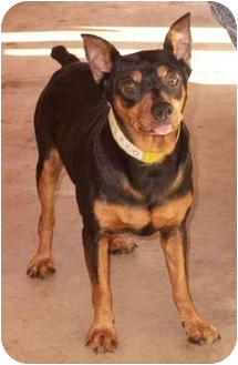 Miniature Pinscher Dog for adoption in Phoenix, Arizona - Preston