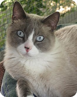 Snowshoe Cat for adoption in Brea, California - CUPID