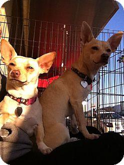 Corgi/Dachshund Mix Puppy for adoption in North Hollywood, California - Stella