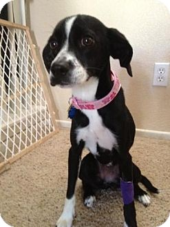 Boston Terrier/Beagle Mix Dog for adoption in Las Vegas, Nevada - Sandie