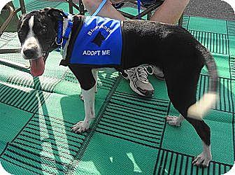 Pointer Mix Dog for adoption in SAN ANTONIO, Texas - ELVIS
