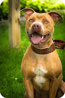 American Staffordshire Terrier Mix Dog for adoption in Freeport, New York - Charlie