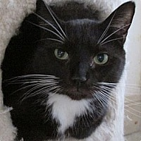 Domestic Shorthair Cat for adoption in Monroe, Connecticut - Benny