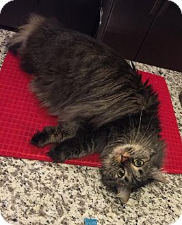 Maine Coon Cat for adoption in Absecon, New Jersey - DOV Courtesy Post