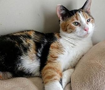 Domestic Shorthair Cat for adoption in Johnson City, Tennessee - Innie
