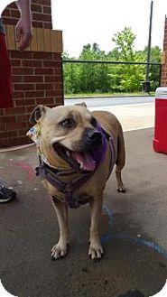 Pug/Shar Pei Mix Dog for adoption in Burlington, North Carolina - Callie