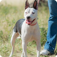 Bull Terrier Mix Dog for adoption in Corona, California - Lissy