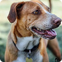 Adopt A Pet :: Honey - Ventura, CA