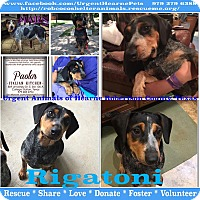 Adopt A Pet :: Rigatoni - Hearne, TX