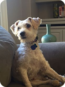 Schnauzer (Miniature)/Fox Terrier (Smooth) Mix Dog for adoption in San Diego, California - Benson - Cute as Pie!