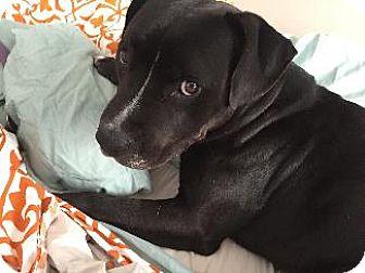 Labrador Retriever/Pit Bull Terrier Mix Dog for adoption in Pt. Richmond, California - SHEBA