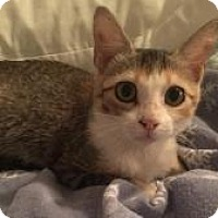 Calico Kitten for adoption in Kingwood, Texas - Kara