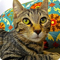Domestic Shorthair Cat for adoption in St. Francisville, Louisiana - Nellie