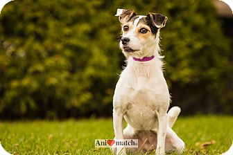 Jack Russell Terrier Dog for adoption in Ile-Perrot, Quebec - CLEMENCE