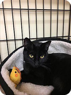 Domestic Shorthair Cat for adoption in Oakley, California - Luna