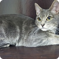 Russian Blue Kitten for adoption in Albemarle, North Carolina - John F Kennedy