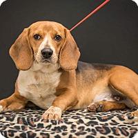 Adopt A Pet :: Bowser - Minneapolis, MN