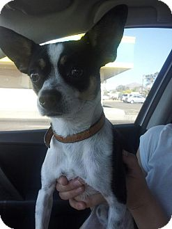 Chihuahua/Jack Russell Terrier Mix Dog for adoption in Scottsdale, Arizona - Dexter