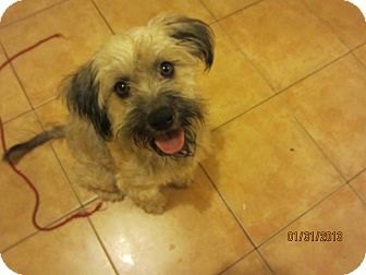 Schnauzer (Miniature)/Terrier (Unknown Type, Medium) Mix Dog for adoption in San Diego, California - Mami