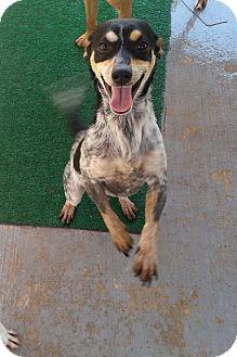 Terrier (Unknown Type, Medium) Mix Puppy for adoption in San Antonio, Texas - Joey