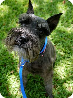 Schnauzer (Miniature) Dog for adoption in Baton Rouge, Louisiana - Greta