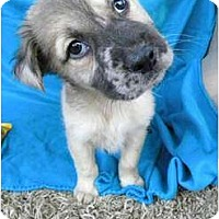 Adopt A Pet :: Lyric - Hagerstown, MD